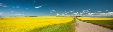 cropped-canola-field12.jpg